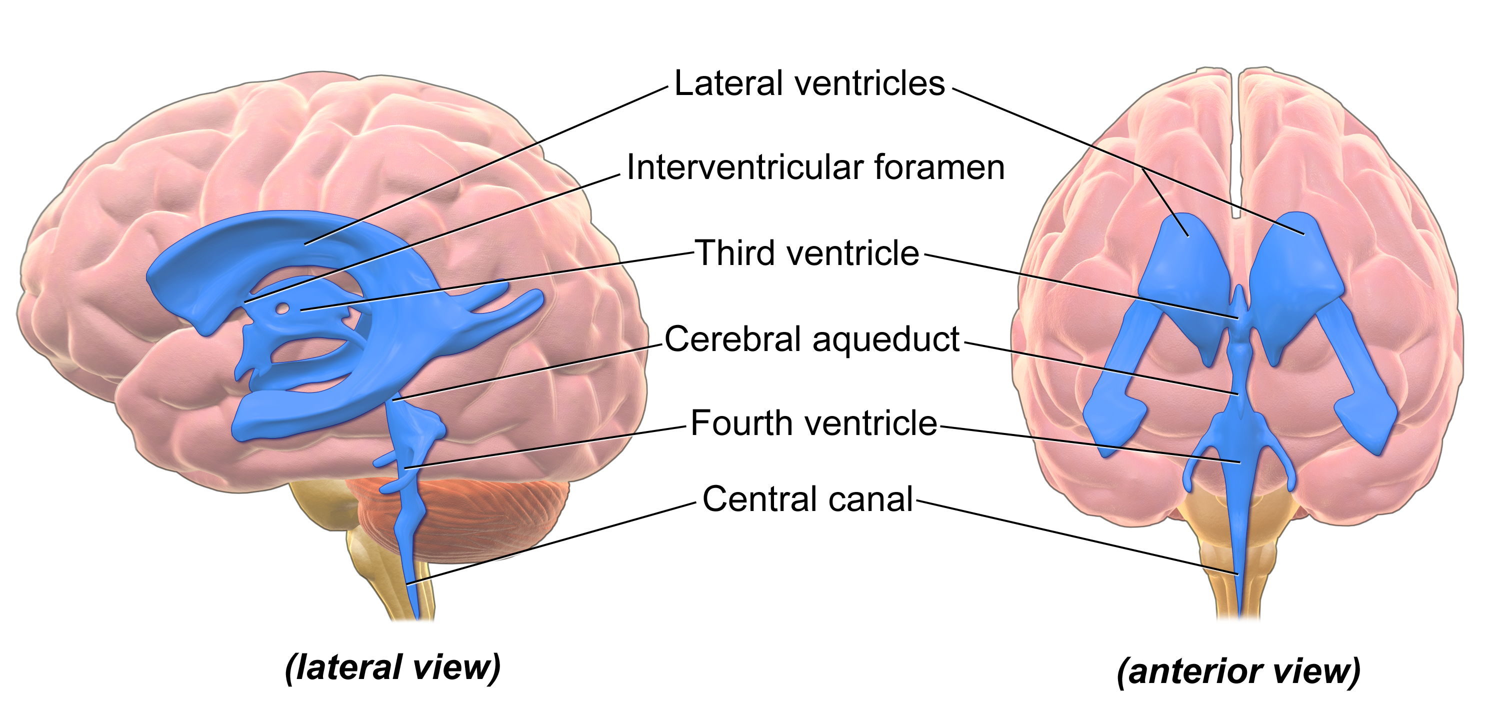 Ventricular System Of The Brain Ventricles Of The Brain With Stand