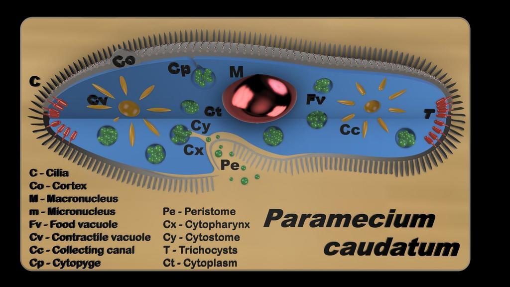 Paramecium - Educational model