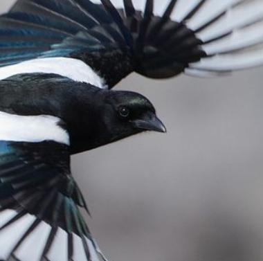 (bird) magpie