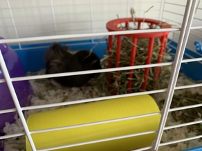 Guinea Pig Hay Feeder (remixed)