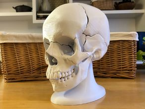 Full Size Anatomically-Correct 18-Piece Magnetic Human Skull Model