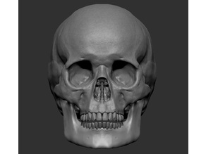 Human Skull, symetrical