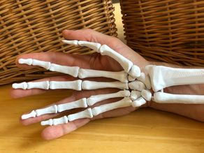 Full Size Anatomically Correct Human Hand Model