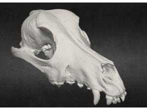 Dog Skull & Jaw