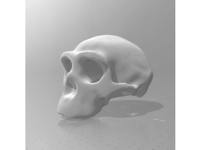 Homo Erectus skull 1:1 scale