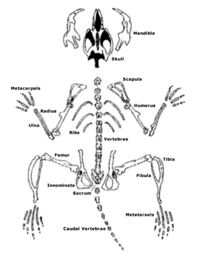Skeletal System Reconstruction Of The Skeleton Pangburns Posts