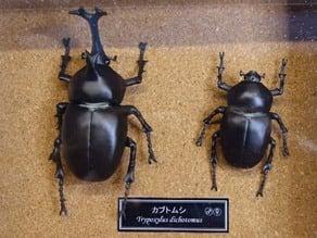 Japanese rhinoceros beetle (Trypoxylus dichotomus)