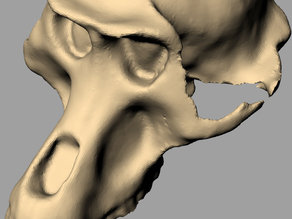 3D Scanned Monkey Skull