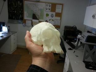 Homo Habilis (KNM ER 1813) Skull