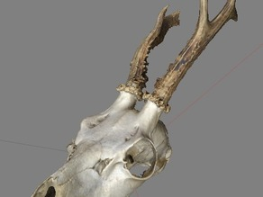 Spike the Deer Skull