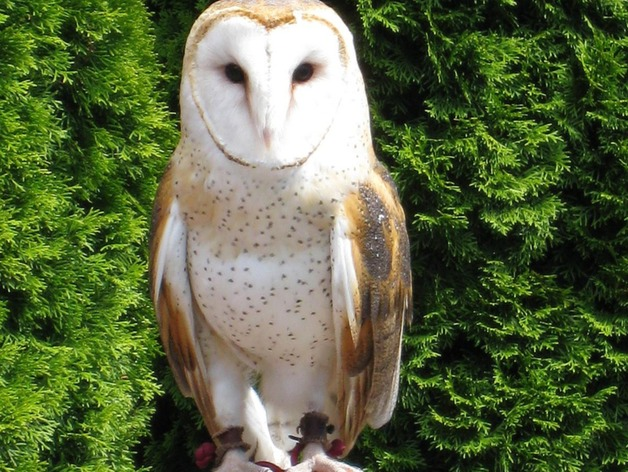 Barn Owl Hair Pin By Erieforage Thingiverse