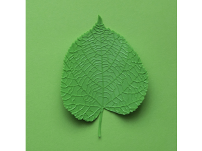 Linden (tilia) tree leaf