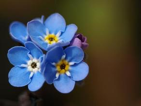 Forget-me-not flower badge