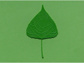 Poplar tree leaf