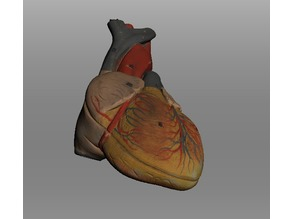 Human Heart Life Size