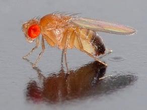 Fruit Fly Trap - Fruchtfliegenfalle