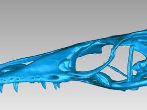 Skull of a Nile Monitor (Varanus niloticus)