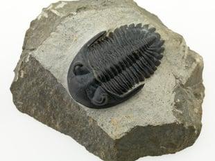 Trilobite (P149623)