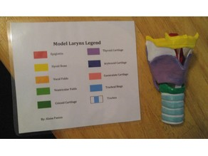 Larynx Model in Parts