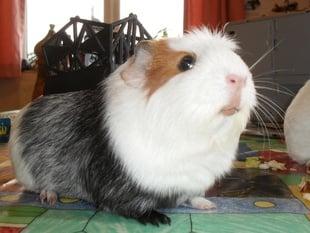 Guinea pig battle carrier