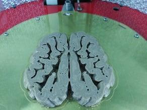 Sus scrofa domestica Brain slice
