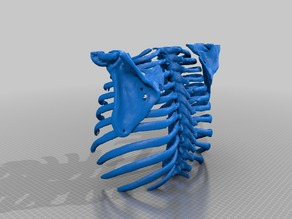 Rib Cage From Cat Scan