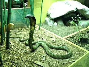 King Cobra & Nest