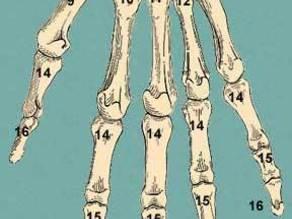Human Hand Bones - Thumb