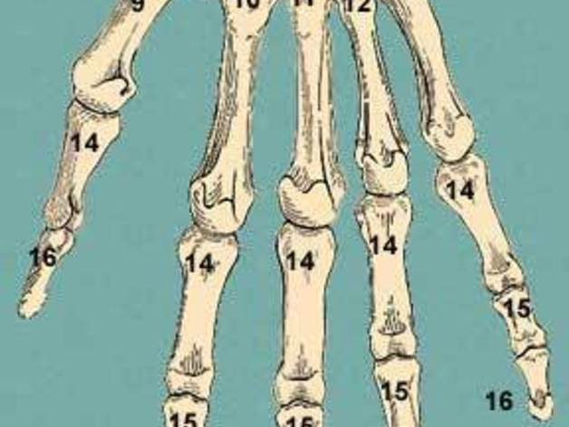 Human Hand Bones - Thumb by siderits - Thingiverse