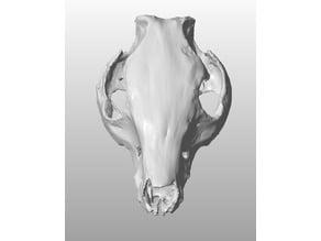Pig Skull scan