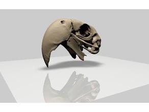 Macaw Parrot Upper Skull
