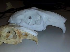 Skull of an European Rabbit (Oryctolagus cuniculus)