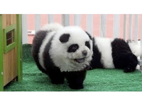 DIY panda dog with animal proof and friendly paint