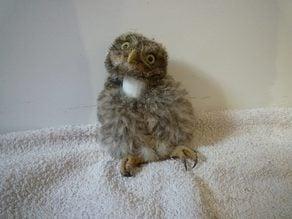 Neck brace for Athene noctua - Little Owl