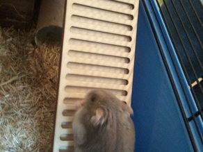 Hamster Ladder