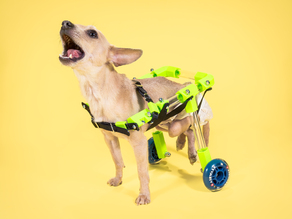 FiGO |  Rear Support Pet Wheelchair