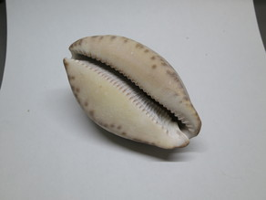 Cowry (Cowrie) Shell