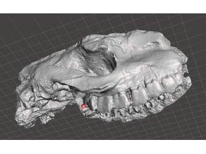 Fossil Hyracodon Skull