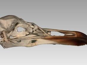 Skull of an European Gull (Larus argentatus)