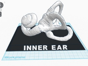Inner Ear With Base