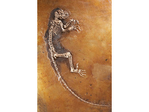 Darwinius Fossil (The Link)