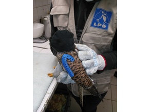 Splint fracture  carpo metacarpus Falco tinnunculus - Common Kestrel and Accipiter nisus - Eurasian Sparrowhawk