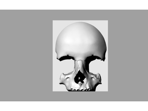 Half a skull on supports (to scale)