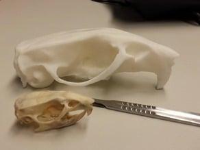 Skull of a rat (Rattus norvegicus)