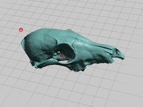 Juvenile Coyote Skull, NextEngine Scan