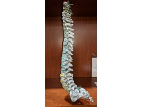 human thoracic vertebrae T1-T12