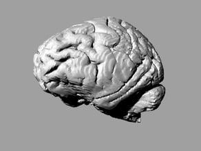 Gorilla brain