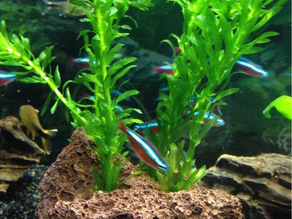 Aquarium Plant Fixation III
