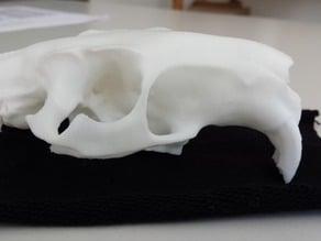 Skull of a nutria (Myocastor copypus)