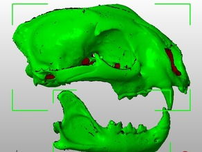 Subadalt female Cougar skull (upper & lower)